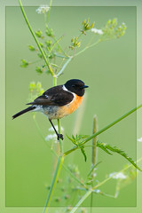 Stonechat Japanese style (hvhe1) Tags: bird nature animal japanese bravo singing wildlife parsley cowparsley stonechat tapuit roodborsttapuit specanimal specanimals hvhe1 hennievanheerden avianexcellence