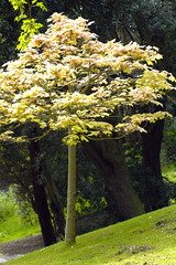 Acer tree (Thomas Tolkien) Tags: school copyright art sports tom digital photography photo education nikon d70s teacher website scarborough teaching tolkien jrr tuition twitter robertbringhurst bringhurst peasholmpark thomastolkien tomtolkien httpwwwtomtolkiencom httpthomastolkienwordpresscom tolkienart notrelatedtojrrtolkien tolkienteacher tolkienteaching
