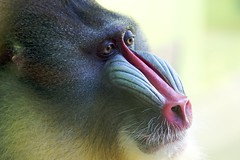 my monkey III (jmauerer) Tags: portrait nature animal closeup monkey nikon wildlife natur mandrill tier affe d300 mauerer theperfectphotographer jmauerer animalsartgallery
