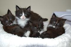 we are 6 weeks old Norwegian Forest Cats ! (Cattery vd Desert Prins) Tags: cat kitten kittens norwegianforestcat