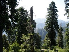 Pine Trees (eirtaza) Tags: road city flowers blue friends boy red party summer people orange mountain snow man mountains flower reflection tree green cup nature water girl grass car sunglasses yellow rock pine forest landscape lights monkey picnic tea dam jet peak human jungle valley bunch kashmir height chairlift scenry islamabad murree vast ayubia liftchair