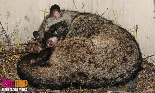 Rare wild Palm Civet seen in Kembangan resident's backyard