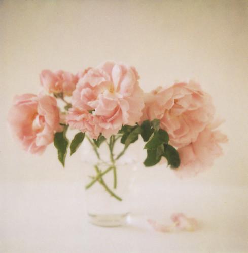 pink roses by danske.