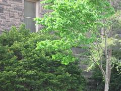 Foellinger Auditorium (dreamofdata) Tags: trees building brick green campus spring universityofillinois uiuc altgeldhall altgeld urbanachampaign