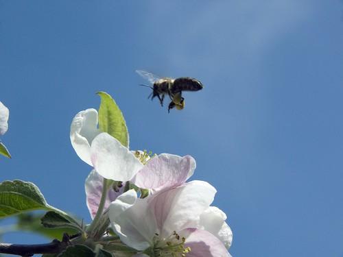 Biene in Apfelbluete