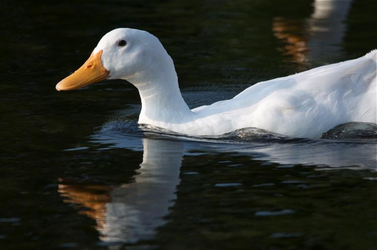ducks_0184