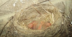 Baby Birds (June 17 2009) (JRBooth) Tags: robin birds nest eggs hatchlings