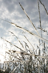 Straws on Wheat (Surrock) Tags: school project wheat class condensation straws umbc vciii