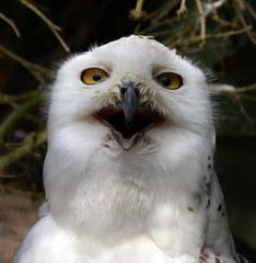 Say Aaaaah (Avro Vulcan) Tags: bird scotland unitedkingdom fife owl snowyowl featheryfriday collessie fifeanimalpark