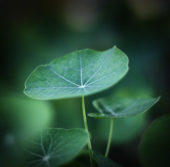 nasturtium leaves ({JO}) Tags: plant green nature leaves nasturtium ilovegreen