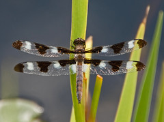 (Pulchella) Twelve Spotted SKimmer (michaelmatusinec) Tags: wi digitalcameraclub canoneos40d portalwisconsinorgselected summer2009 tweltivespotterskimmer pulchellafrontyardpond portalwisconsinorg072909