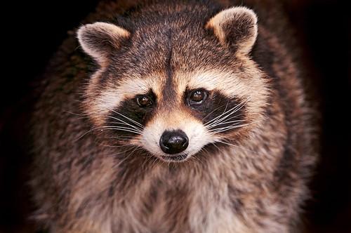 フリー画像| 動物写真| 哺乳類| アライグマ|        フリー素材|