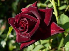 BLACK BACCARA (anoste40) Tags: red noir amour passion rosen velour darkred blackrose blackisblack ilroseto