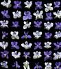 29031 Viola (horticultural art) Tags: flowers lines grid pattern violet negativespace getty viola horticulture horticulturalart 136689192