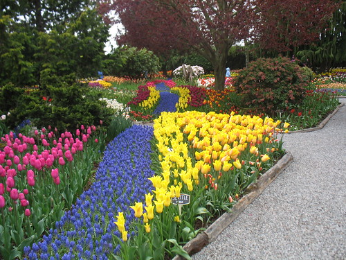 Rows of grape hyacinths set into taller tulip beds, looking like a path