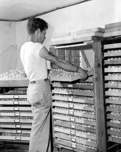 Chicken eggs inside a chicken hatchery: Jacksonville Region, Florida