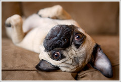 Upside Down Wookie ([Christine]) Tags: dog upsidedown pug wookie 852 impressedbeauty 52weeksfordogs