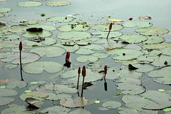 Lily pond and snails at the beautiful garden at    Jatiyo Smriti Soudho Independence memorial park, Savar, Dhania, Dhaka, Bangladesh (Wonderlane) Tags: dhaka dhania bangladesh lilypond savar 1689 wonderlane beautifulgarden jatiyosmritisoudho  independencememorialpark jatiyosmritisoudhoindependencememorialpark lilypondandsnailsatthebeautifulgardenatjatiyosmritisoudhoindependencememorialpark