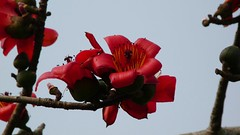 Silk cotton bloom