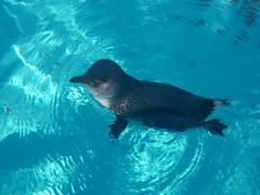 Penguin (Elysia in Wonderland) Tags: blue water swimming swim germany zoo penguin cologne elysia