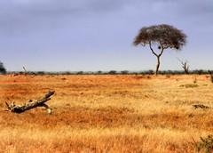 Lone Tree.. (crazykanga) Tags: kenya acacia tsavo pfogold pfosilver beautifulworldchallenges
