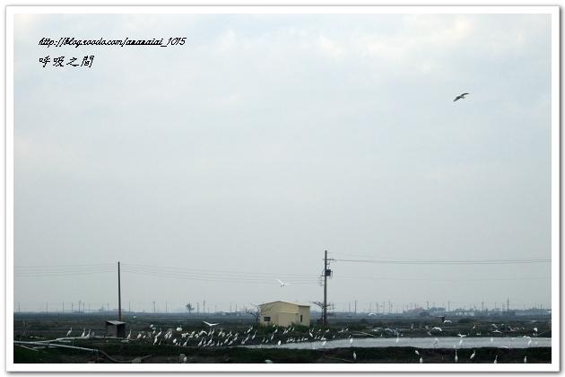 魚塭的白鷺鷥