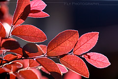 Let's the sunshine brings you luck~ (Fay Lim (Fly)) Tags: light red leave nature sunshine fauna backlight canon flora dof natural jungle malaysia penang tamron ih    400d citrit theperfectphotographer seenonflickr flyphotography