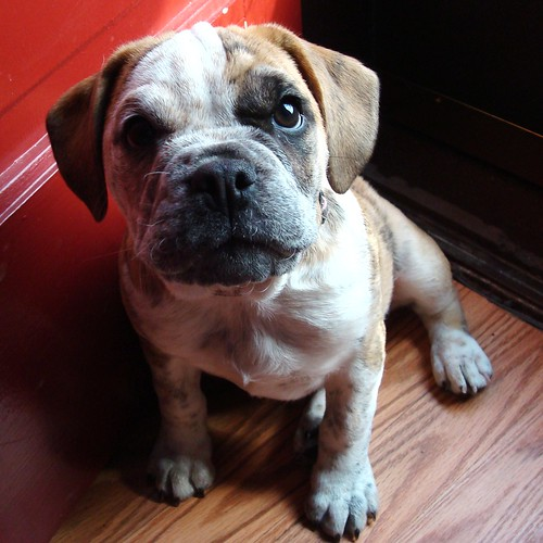 Puppies for Sale in Lancaster PA - All Breeds | Puppies for Sale