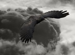 The Raven (Vermin Inc) Tags: sky bird smart animal clouds dark moody pentax native foreboding flight feather melbourne poet crow raven clever omen intelligent supernatural edgarallanpoe corvuscoronoides narrativepoem sigma70200mmf28 unkindness k10d genuscorvus quoththeravennevermore culturalreferences camerasmart