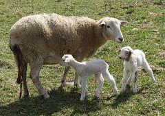 Born on pasture