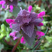 Photo: Red Dead-nettle