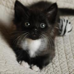 Batman (update!) (rootcrop54) Tags: kitten chat gato batman neko 猫 macska gatto kot nekochan kočka kedi polydactyl chatte katt kissa köttur mačka kucing кошка 고양이 katė γάτα maček kaķis gorbe kissablekat zebraball pi-sică cc26000