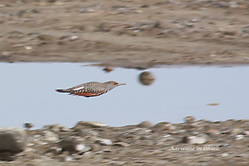 northern flicker photo by Adrienne in Ohio