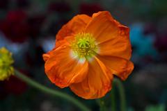 Spring Poppy in Orange (aeschylus18917) Tags: flowers orange flower macro nature japan season tokyo nikon seasons g micro poppy   nikkor  f28 nerima vr papaver papaveraceae 105mm 105mmf28  105mmf28gvrmicro  d700 nikkor105mmf28gvrmicro danielruyle aeschylus18917 danruyle druyle
