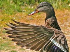 dancin duck (artfilmusic) Tags: bird duck wings natureselegantshots