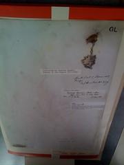 Spécimen de séneçon (nommé ultérieurement Senecio darwinii) ramené du Chili par Charles Darwin, àl'occasion de son voyage sur le Beagle. Il fut envoyé àWilliam Jackson Hooker de l'herbier de Glasgow (le père d'un ami fidèle de Darwin) et prêté définitivement àEdinburgh, en même temps que toute la collection de Glasgow, en 1965.