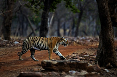 ADS_00000784 (dickysingh) Tags: wild india outdoor tiger bigcat aditya predator singh dicky tadoba adityasingh ranthamborebagh theranthambhorebagh tadobaandharitigerreserve wwwranthambhorecom