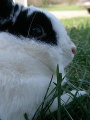 Brody (nomeat4jackie) Tags: white black rabbit bunny dewlap