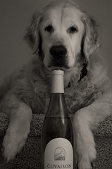 Wine Dog (Big D2112) Tags: blackandwhite dog pet goldenretriever bottle paw aperture nikon wine sb600 sadie napavalley speedlight 2009 chardonnay carneros lightsphere d90 supershot garyfong cuvaison niksoftware silverefexpro 2007chardonnay