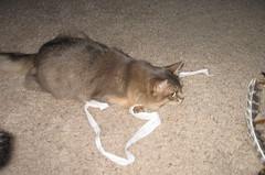 Gracie feels much better these days! (Jagerbunny) Tags: somalicat bluesomali catnipaddicts