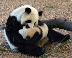Mommy blows raspberries on Lani's neck - revised (bob2cleo) Tags: panda zooatlanta pandas lunlun meilan cubcake