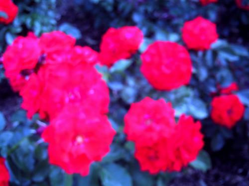 霊山寺「バラ庭園」トイカメラ-06