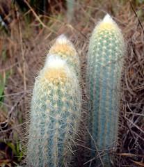 CactusXique-xique_152 (Marcelo Piraj) Tags: macro flora chapadadiamantina flres