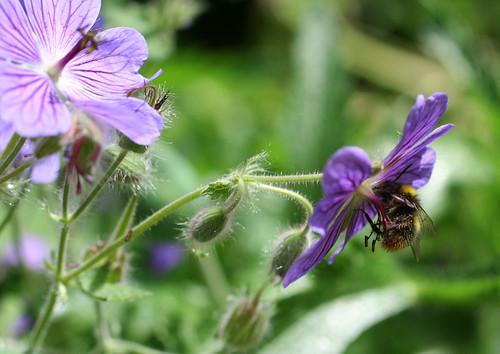 geranium petit