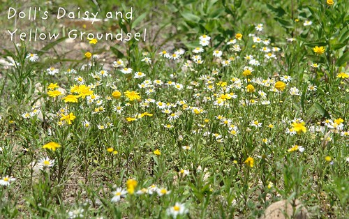 Doll's Daisy and Yellow Groundsel