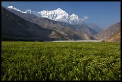 Himalayan Wheat (acastellano) Tags: nepal snow mountains green topf25 field river landscape wheat peak explore valley mustang top20landscape himalayas nilgiri kagbeni kaligandaki interestingness136 lpf16