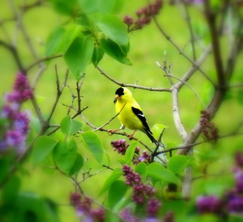GOLDFINCH EATING SUNFLOWER SEED