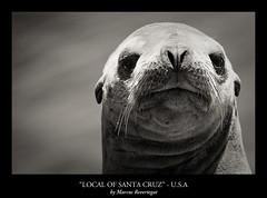 Local of Santa Cruz (Marcus Revertegat) Tags: ocean sanfrancisco california usa santacruz seals californie wildanimals phoques tatsunis marcusrevertegat