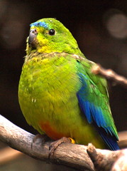 Orange-Bellied Parrot (ianmichaelthomas) Tags: friends birds healesvillesanctuary parrots birdwatcher smorgasbord royalmelbournezoo animaladdiction goldenmix australiannativebirds wildlifeofaustralia auselite naturewatcher wonderfulworldmix healesvillevictoriaaustralia vosplusbellesphotos orangebelliedparrot