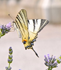 Podalirio 3 (Iphiclides podalirius) (paolo-55) Tags: macro butterfly nikon farfalla d300 blueribbonwinner iphiclidespodalirius podalirio ultimateshot 105mmvrmicronikkor theperfectphotographer